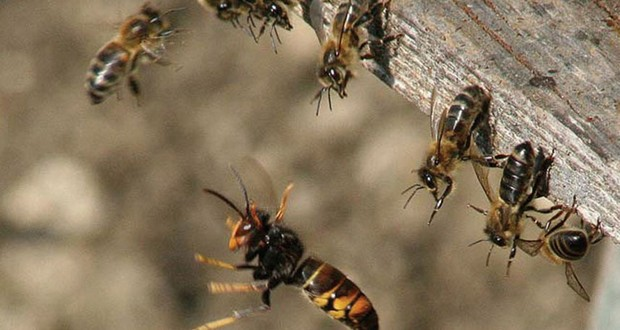 Japanese honeybees