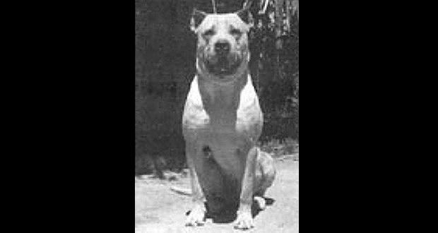 Cordoba fighting dog