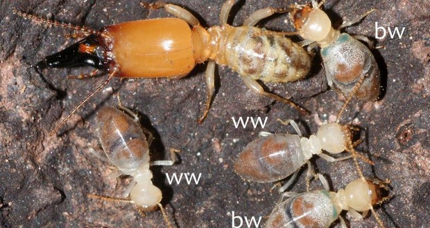 Older worker termites