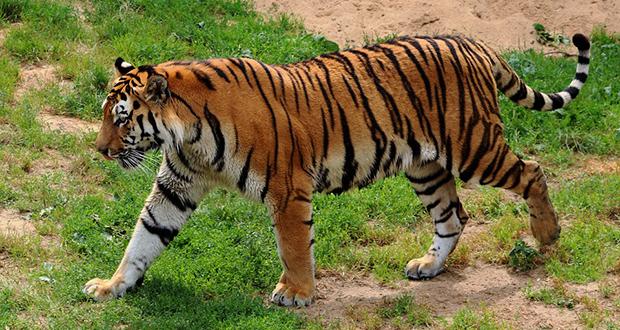 Tiger Bone Wine