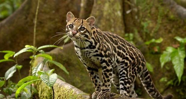 Amazon wildcat