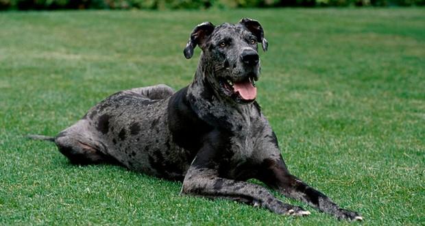 German Mastiff