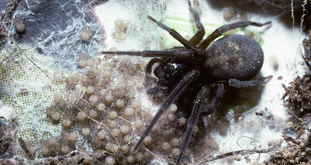 Mother black lace-weaver