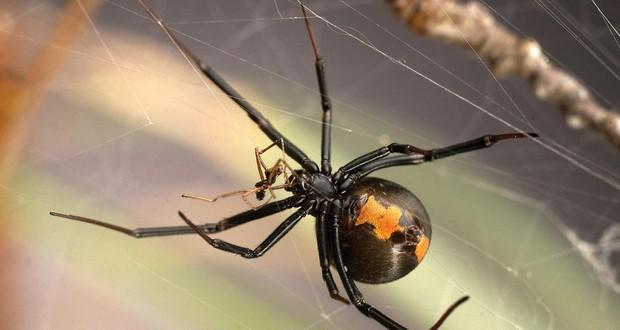 Female black widow spiders