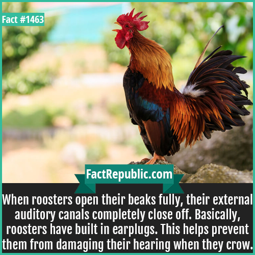 1463. Rooster Crowing-When roosters open their beaks fully, their external auditory canals completely close off. Basically, roosters have built-in earplugs. This helps prevent them from damaging their hearing when they crow.