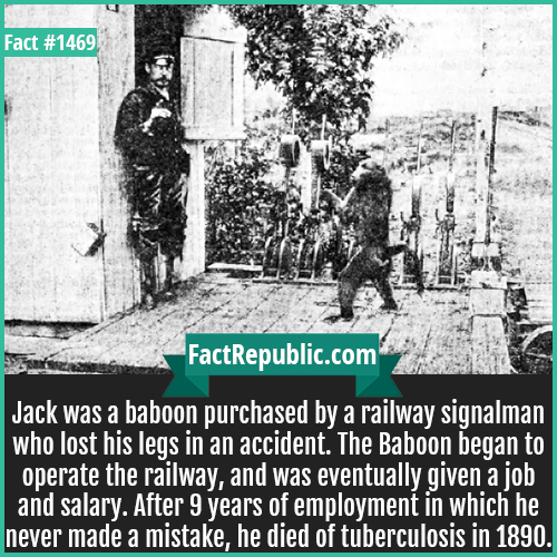 1469. Jack the Baboon-Jack was a baboon purchased by a railway signalman who lost his legs in an accident. The Baboon began to operate the railway and was eventually given a job and salary. After 9 years of employment in which he never made a mistake, he died of tuberculosis in 1890.