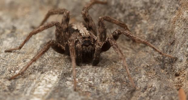 Corolla spider