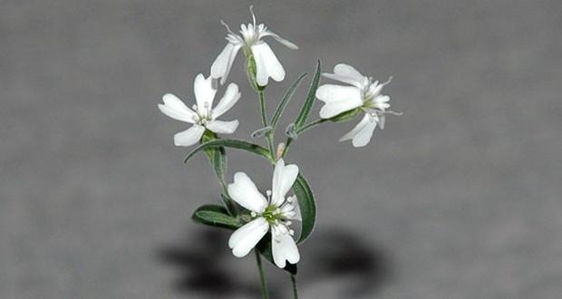 Campion plant