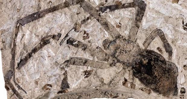 Spider Fossils