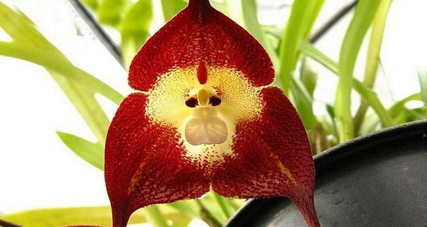 Monkeyface orchid
