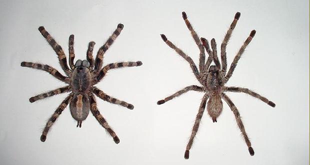 Tarantula Lifespan
