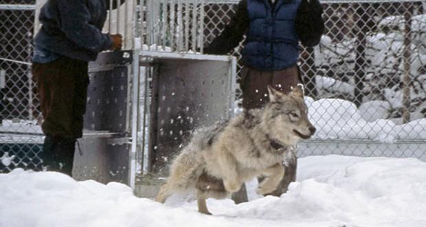 Wolves reintroduction