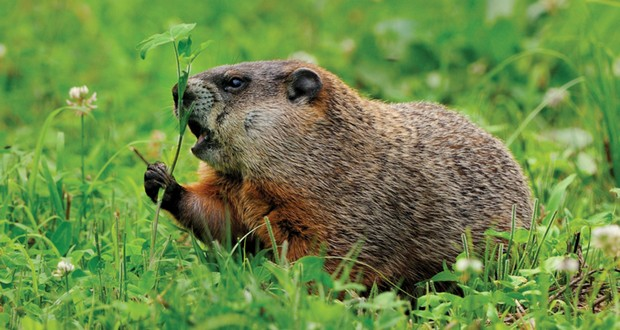 Adult woodchuck