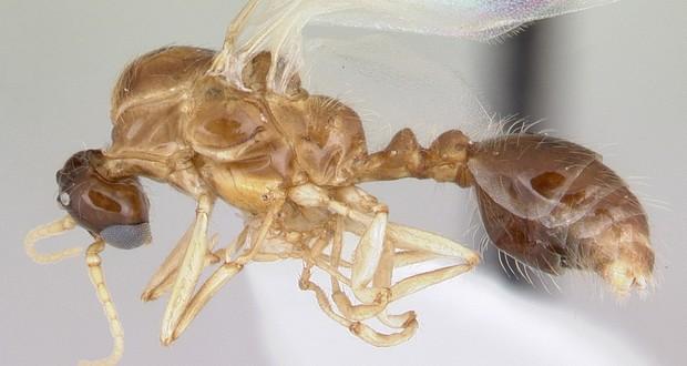 Solenopsis daguerrei