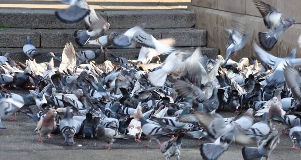 Pigeon population