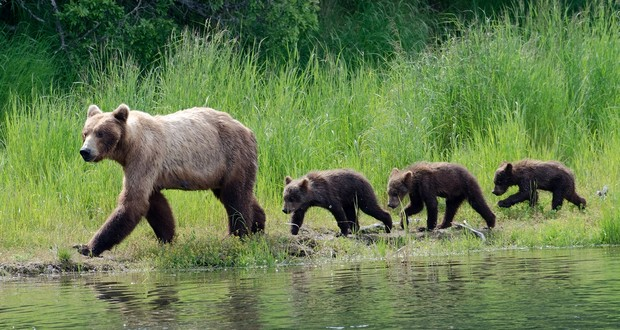Brown bear mothers
