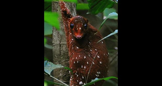 Malayan colugo