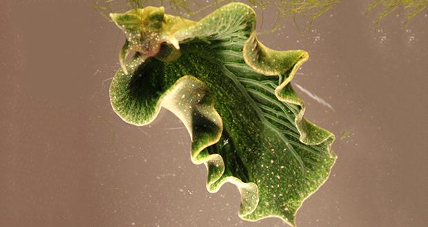 Elysia chlorotica