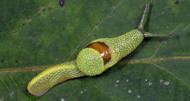 Borneo Ninja Slug