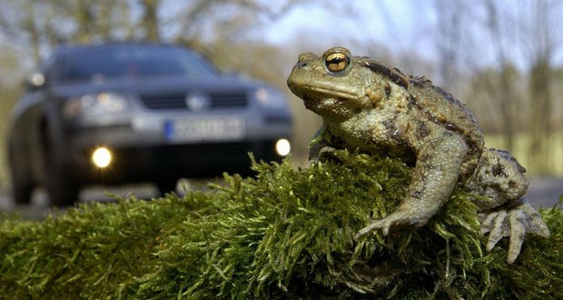 Annual toad migration