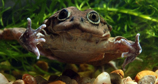 Lake Titicaca water frog