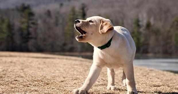 Noisy dogs