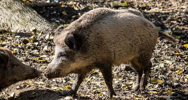 Pig war