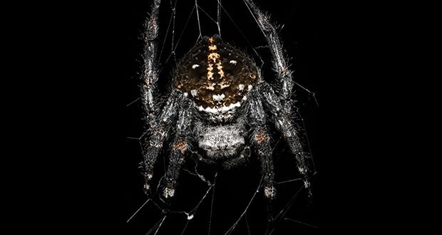 Female Darwin's Bark Spider