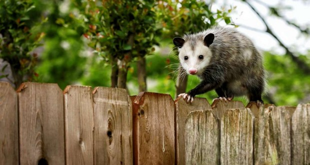 Possum-tossing contest