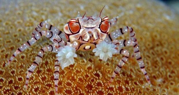 Boxer Crabs