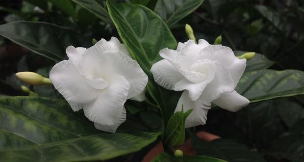 Bëcchëte medicinal plant