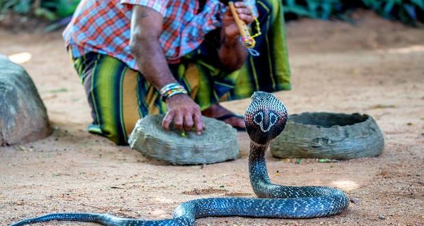 Cobras bounty