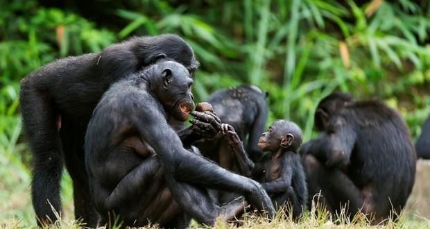 Bonobo mothers