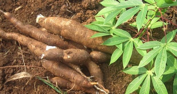 Modified cassava