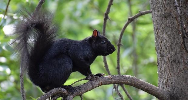 Black squirrels