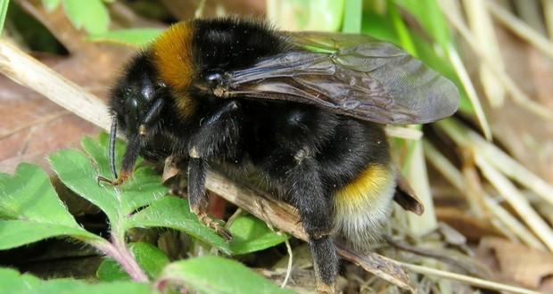 Cuckoo bumblebees