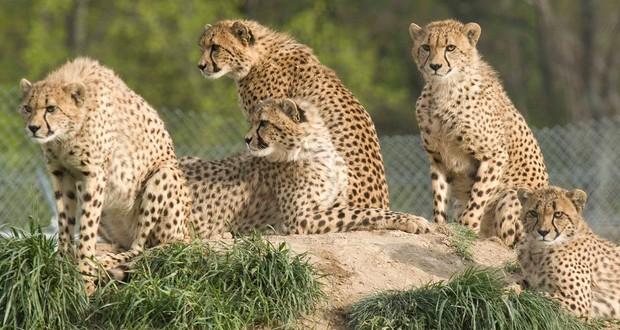 Male cheetahs