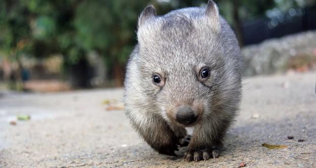 Wombat babies