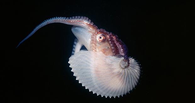 Male Argonaut Octopus