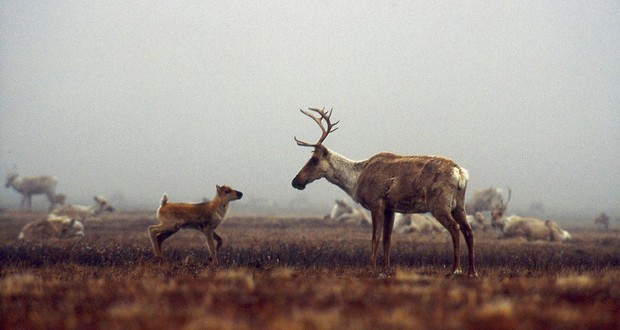 Caribou Fog