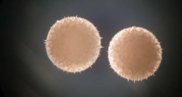Streptomyces hygroscopicus