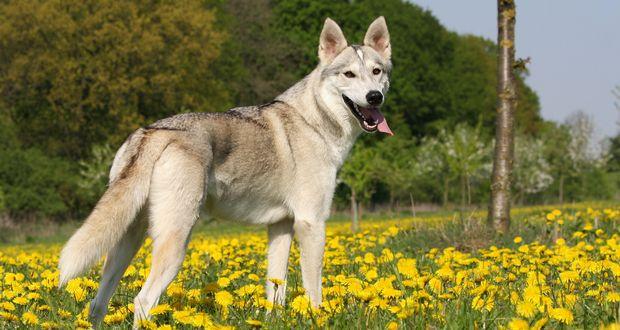 Tamaskan dogs