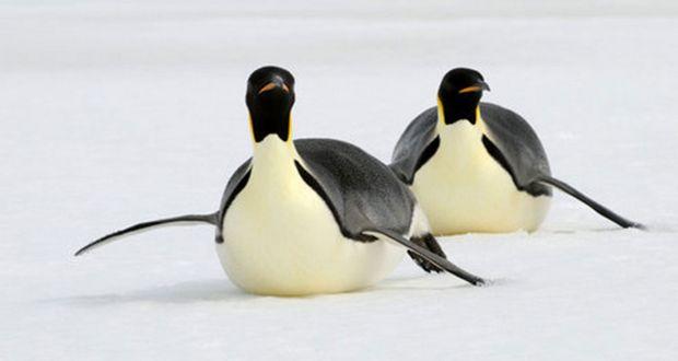 Gay Penguins