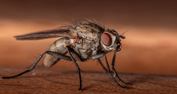 Housefly Weapon