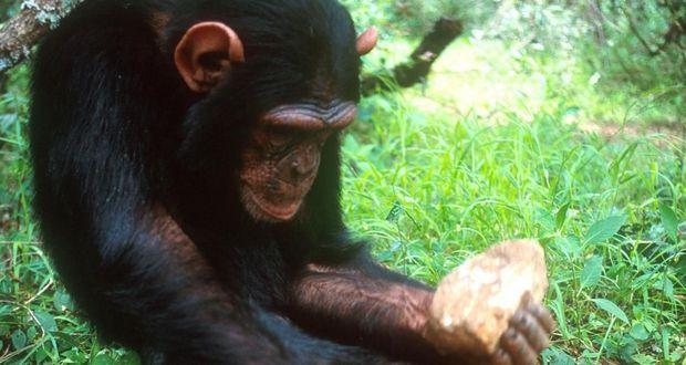 Chimpanzees Stone Age