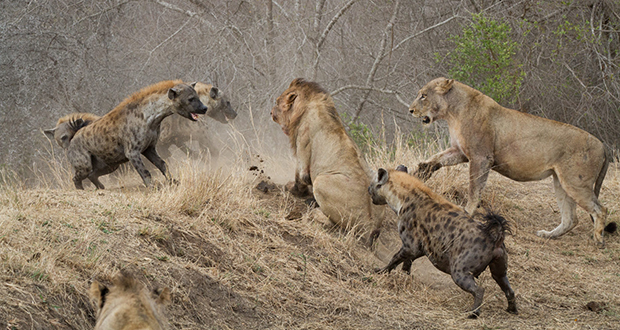 Hyena-lion war