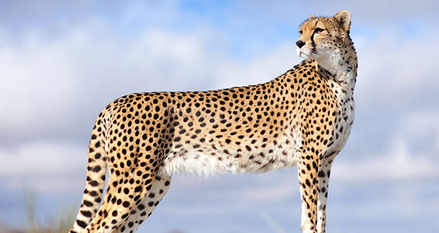 Asiatic cheetah