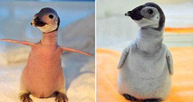 Bald baby penguin
