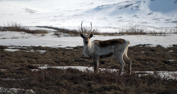 Caribou and reindeer