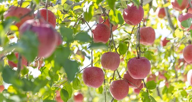 Aomori apple